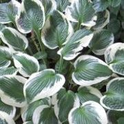 Hosta 'Patriot'. Suitable for Living Wall Shade Plant. Click image to get care advice.     Other names: Plantain lily 'Patriot'    Genus: Hosta    Variety or cultivar: 'Patriot' _ 'Patriot' is a perennial with a clump-forming habit. Its rounded, heart-shaped leaves edged in white. In summer it bears lavender flowers on erect leafy stems.