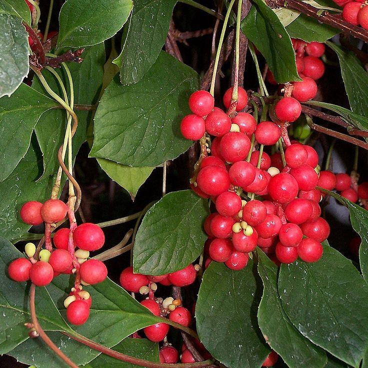 Fjärilsranka. Traditionell, kinesisk medicinalväxt, även känd som de fem smakernas frukt.