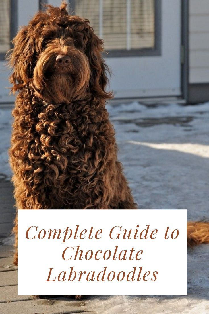 Labradoodles Brown Dogs And Puppies In 2020 Chocolate Labradoodle Labradoodle Doodle Dog Breeds