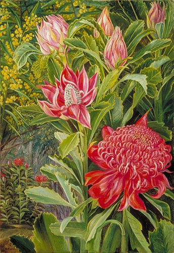 Flowers of the Waratah, of New South Wales  by Marianne North  Location: Australia, New South Wales  Plants: Telopea speciosissima Acacia  (C) Kew Gardens, London  http://www.kew.org/mng/gallery/plant-portraits
