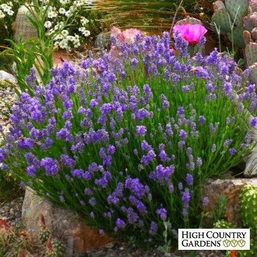 Blue Lavandula angustifolia Wee One, Lavandula angustifolia 'Wee One', Wee One Dwarf English Lavender
