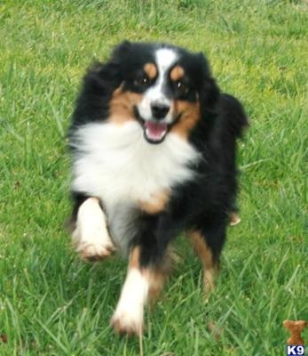 Miniature Australian Shepherd: Miniatures, Australian Shepherd Dogs, Animals, Shepherd Animal, Miniature Australian Shepherds, Pet, Puppy, Mini Australian Shepherd, Aussie