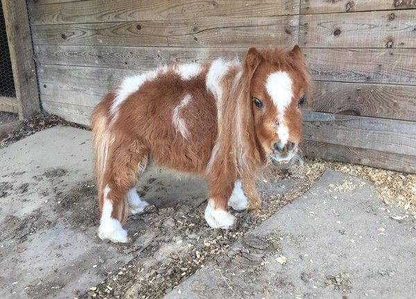 Little Horse Who Survived On Rotten Hay Pitter-Patters Down The Road To Recovery