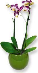 Orkide Bakımı: Phalaenopsis Orkide Bakimi