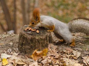 Ardilla comiendo frutos secos en el bosque