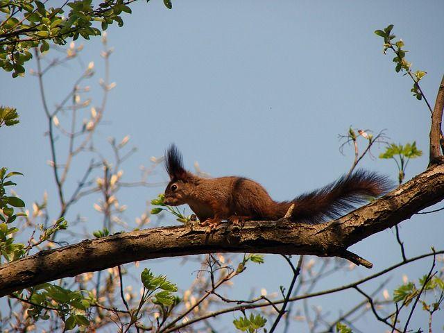 Szilvásváradon jártunk, amikor egyetlen pillanatra modellt állt ez a mókus. Épp csak kattintottam és máris eliszkolt, nyomát sem láttuk.