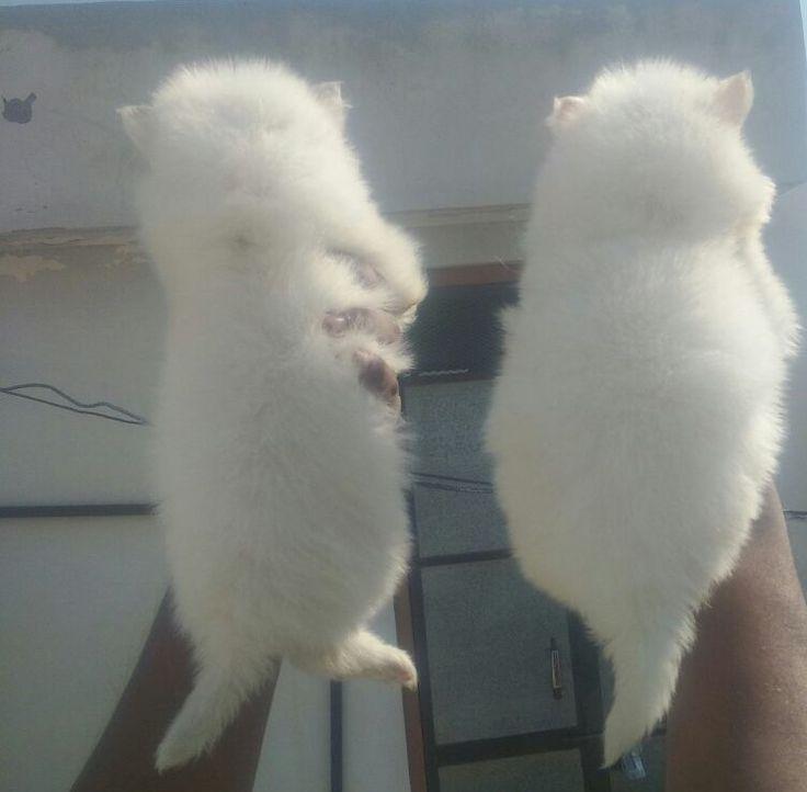Pomeranian dog #puppies