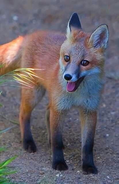 Happy little fox