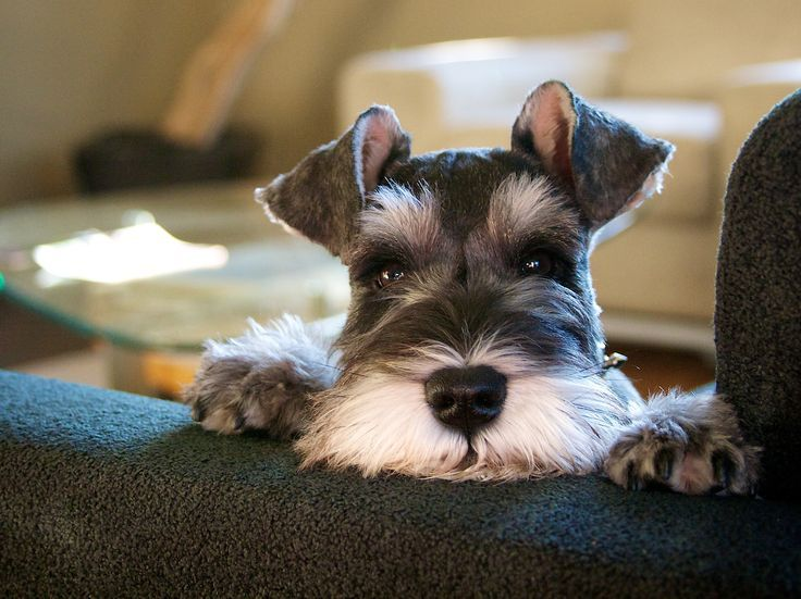 What is the name of the famous German statue featuring a Schnauzer?