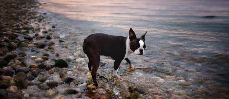 Zoals de naam al zegt werd dit ras ontwikkeld in Boston, Massachusetts. Oorspronkelijk had de Boston Terriër een gewicht tot 20 kilogram.  De Boston Terriër is een resultaat van de fok tussen de Engelse Bulldog met de inmiddels al uitgestorven witte Engelse Terriër.