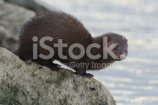 Mink royalty-free stock photo