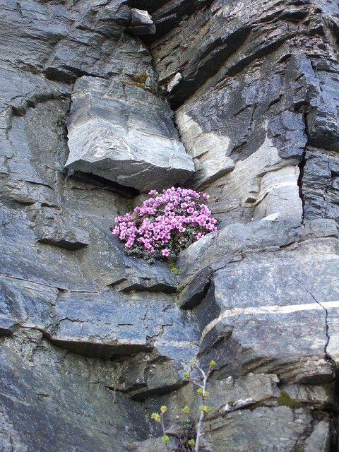 First flowers of Springin Kilpisjärvi - photo by skoppelo