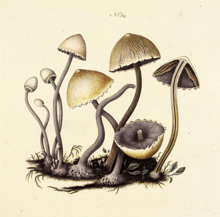 Panaeolus sphinctrinus. Image is under CC BY-NC-SA of Natural History Museum of Denmark (http://1url.cz/z2GA).