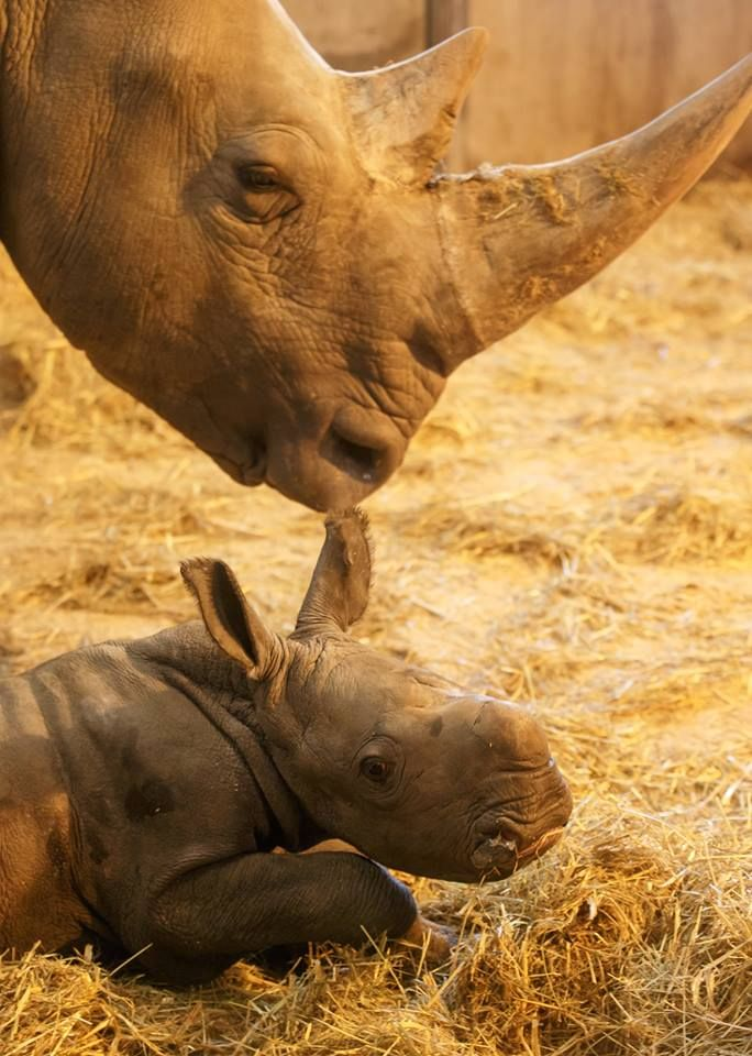 A Rhinoceros calf born at the Copenhagen Zoo is the first of this endangered species to be born at the zoo in 35 years.