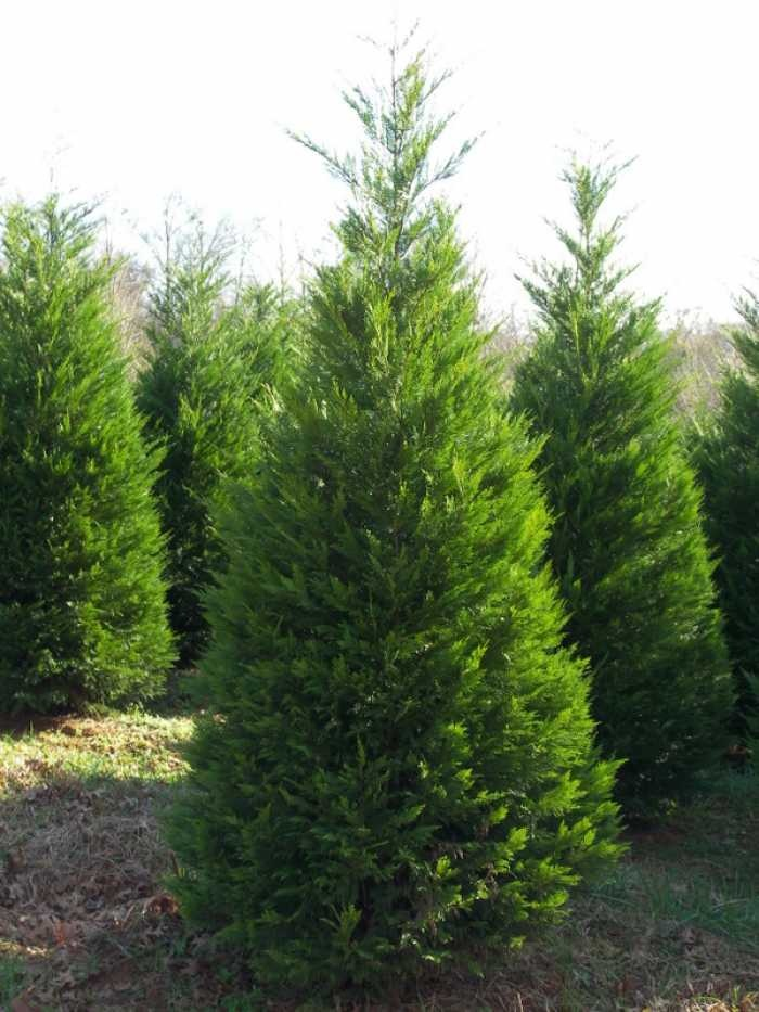 Lone Oak Tree Farm - Fast growing leyland cypress - will be great for wind protection.