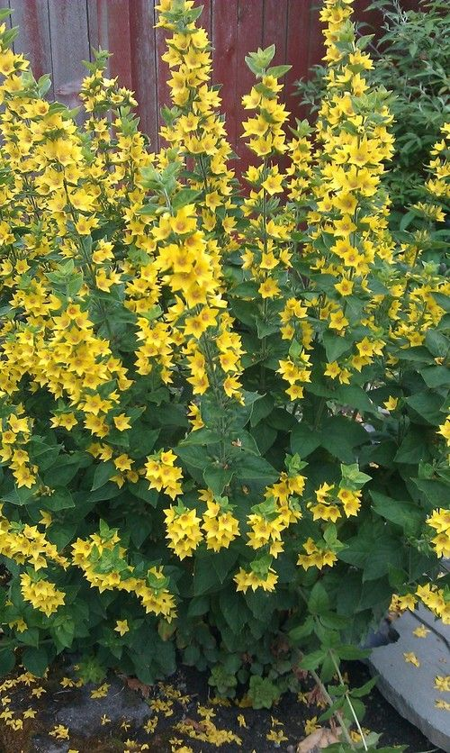 Tall spiky plant with yellow flowers plant with yellow flowers tall spiky plant with yellow flowers plant with yellow flowers ekler pinterest yellow flowers yellow perennials and black eyed susan mightylinksfo