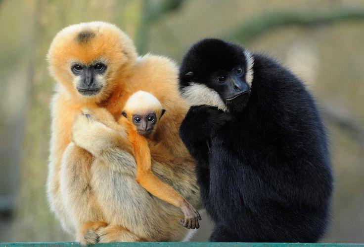 Dvě mláďata vzácných primátů pokřtil v plzeňské zoologické zahradě ředitel Divadla J. K. Tyla Martin Otava. Gibon bělolící, narozený v září dostal jméno Luki. Únorový sameček guerézy angolské se jmenuje Kubíček.