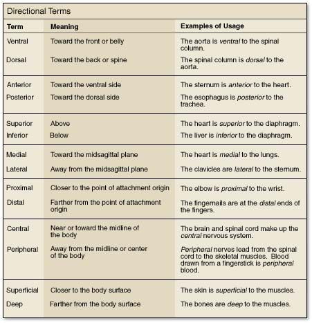 Directional terms anatomy