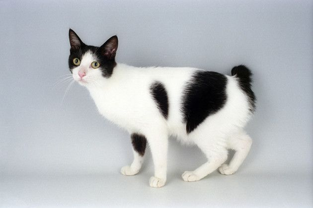 """Japanese Bobtail Cat is a breed of domestic cat with an unusual """"bobbed"""" tail more closely resembling the tail of a rabbit than that of other cats. The short tail is a body-type mutation caused by a recessive gene."""