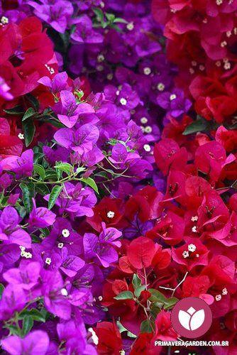 o bouganville conhecido como primavera ou marias a planta smbolo do