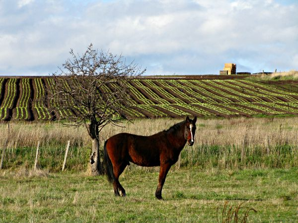 A beautiful #horse stands alone by Forcett Lakes Golf Course, Lewisham. #Tasmania Article and photo for think-tasmania.com