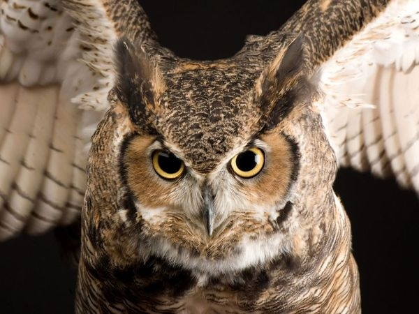 Great Horned Owl - from the Animal Father Pictures article on National Geographic geoglyphiks
