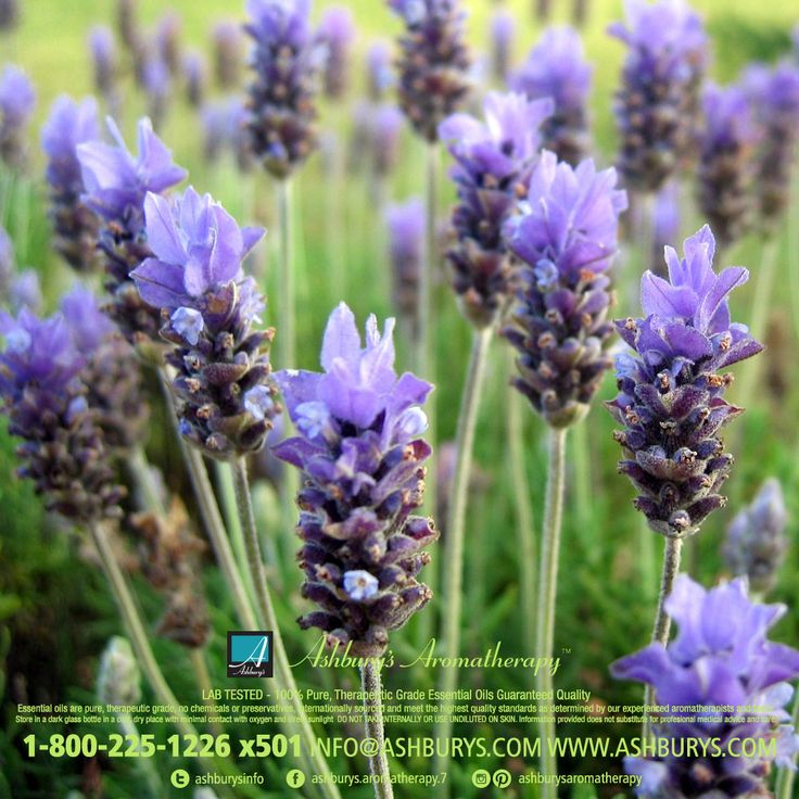 Lavender Essential Oil [Lavandula angustifolium] A Broad Spectrum Healer Lovely, deep floral aroma that warms the heart and steadies the emotions. The most useful essence for therapeutic purposes, it fights infection and eases muscular pain and headaches. Do not use if you have low blood pressure. Safe for small children. #ashburysaromatherapy #lavender #essentialoils