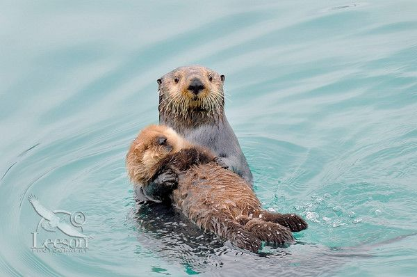 Baby sea otter and momma