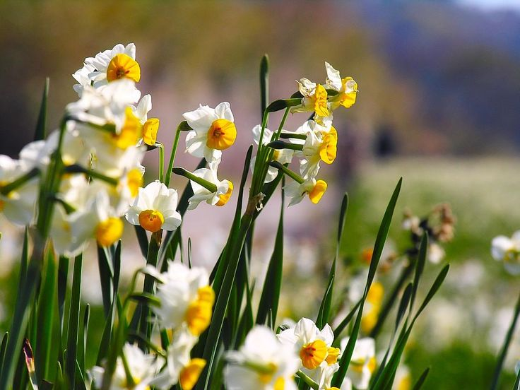 Flowers Pictures of Narcissus