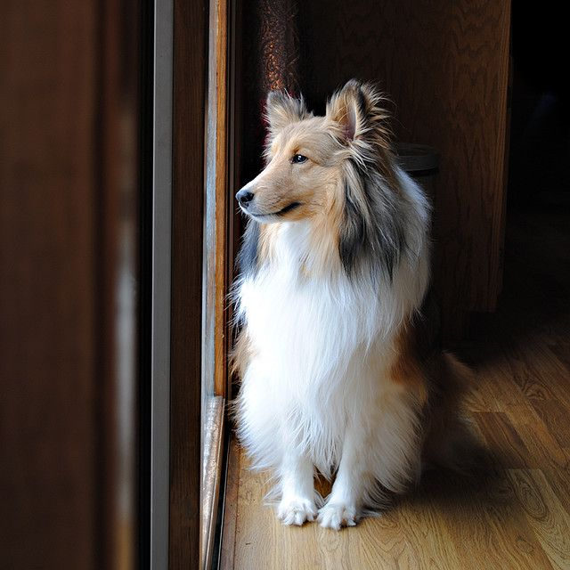 shelties are such sweet dogs..reminds me of my girl so much waiting at the door for me