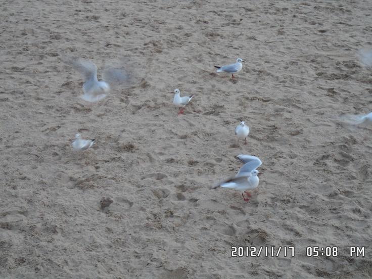 Seagull flocks