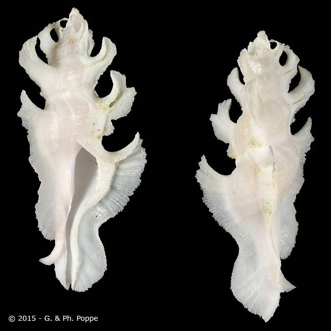 MURICIDAE , Pterynotus elongatus WHITE