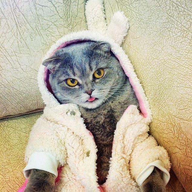 Meet Melissa: The Most Photogenic Scottish Fold Cat | Animals Zone