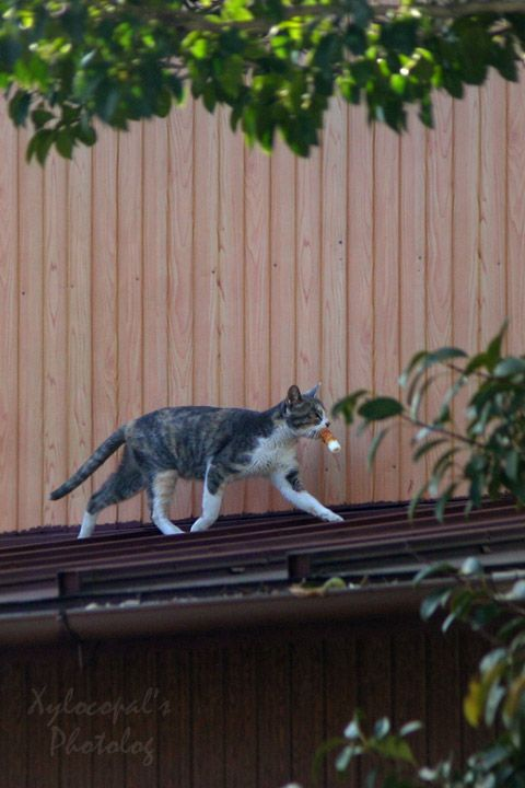 Japanese Cat with chikuwa (bamboo ring) ちくわをゲットして意気揚々http://en.wikipedia.org/wiki/Chikuwa