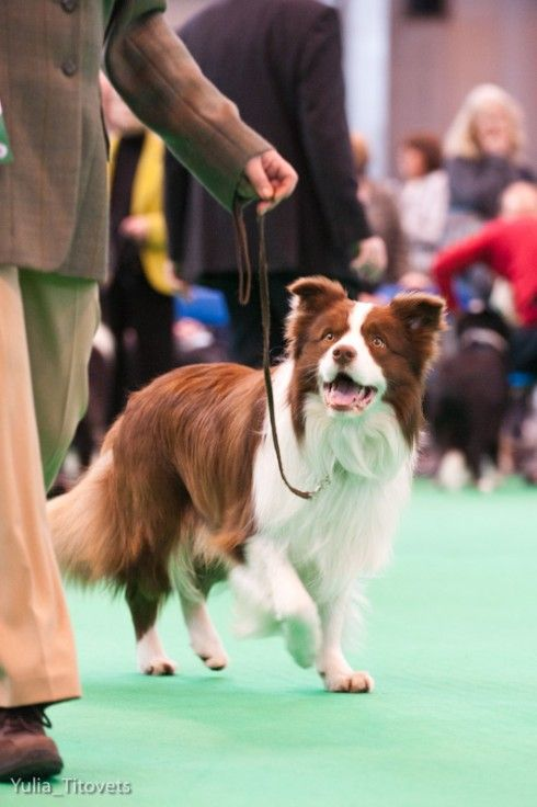 Border Collie at Crufts