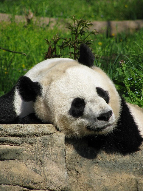 best 941 pandas bears ideas on pinterest panda bears giant pandas and panda panda. Black Bedroom Furniture Sets. Home Design Ideas