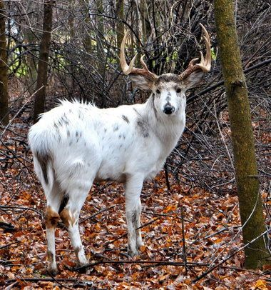 How Rare Are Piebald Deer | ... percent of the deer population is piebald, like this one in Avon Lake