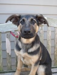 Shep pups is an adoptable German Shepherd Dog Dog in South Orange, NJ. These are three purebred German shepherd pups- 3 months old! There are boys and girl- absolutely gorgeous! More details with ph...