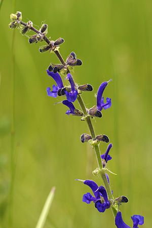 Introduced Sage (salvia pratensis): Salvia pratensis (meadow clary or meadow sage) is a species of flowering plant in the family Lamiaceae, native to Europe, western Asia and northern Africa. The specific epithet pratensis refers to its tendency to grow in meadows. It also grows in scrub edges and woodland borders.  https://en.wikipedia.org/wiki/Salvia%20pratensis