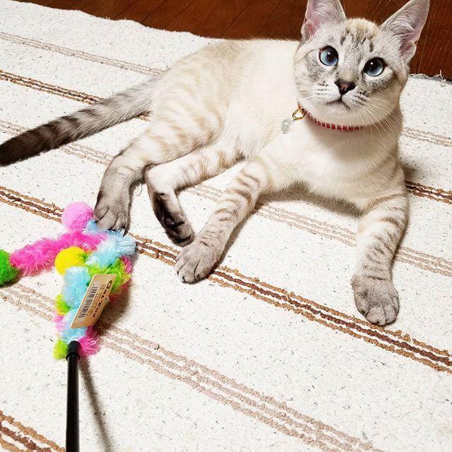 ねーねー今日もこれで遊ばないの?🌾💓 #イブ#心の声 #どハマり #マストアイテム #しっぽ #おもちゃ #ストレス発散#にゃんすたぐらむ#ねこすたぐらむ#にゃんこ#ねこ#ぬこ#にゃんだふるらいふ#ねこ好き#愛猫#にゃんこら部#アスリート女子#イブ#いぶぶ#blueeyes#cats#catstagram#nyanstagram#nyannyan
