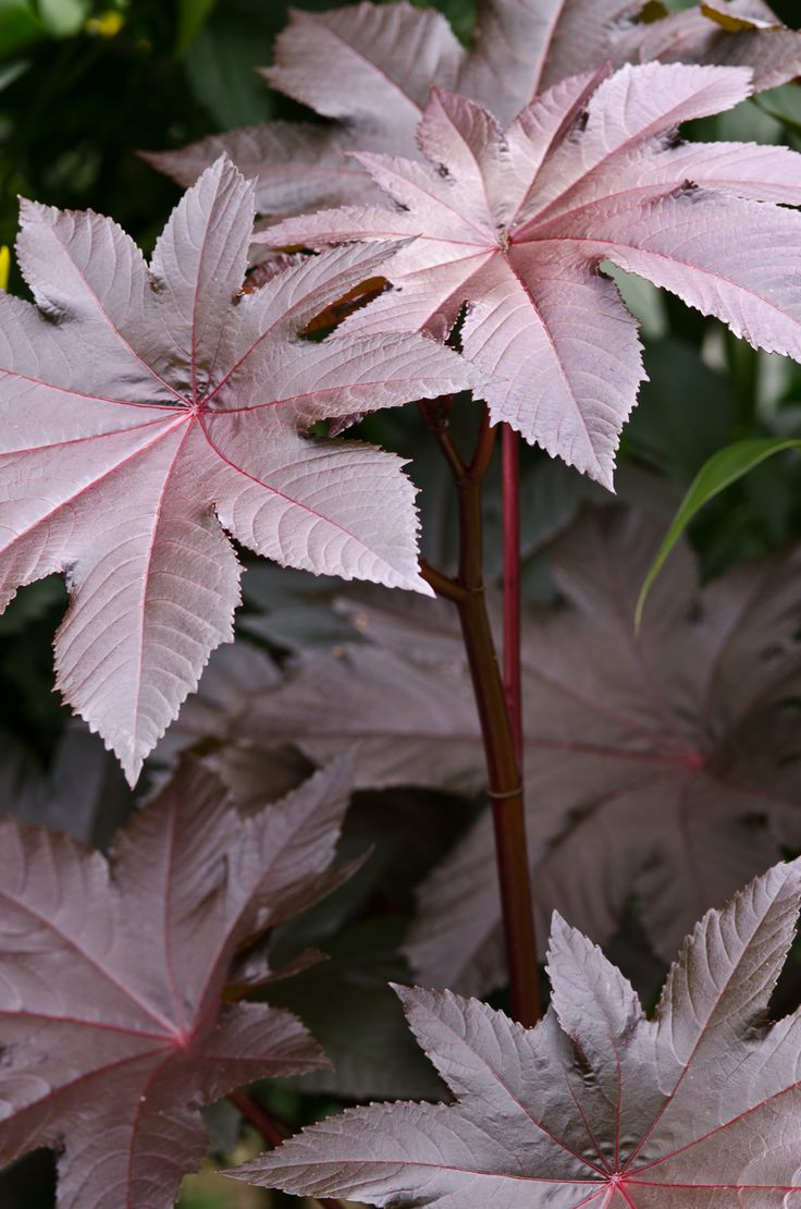 Ricinus communis New Zealand Purple (castor oil Plant)--Deer won't touch them!