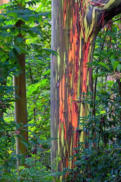 The Rainbow Eucalyptus (Eucalyptus deglupta) is a huge evergreen tree that can reach heights of 246 feet. The Rainbow Eucalyptus, also known as Mindanao Gum, has a geographic distribution that extends from the Indonesian archipelago to the Philippines. What make this tree so special are the striking stripes of yellow, green, pink, red, purple and orange on its branches and trunk. Believe it or not, these beautiful colors are an entirely natural feature.