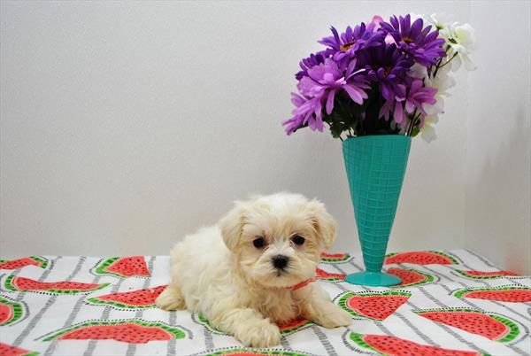 Maltese 18660 04 Puppies For Sale At Breeders Club Puppies For