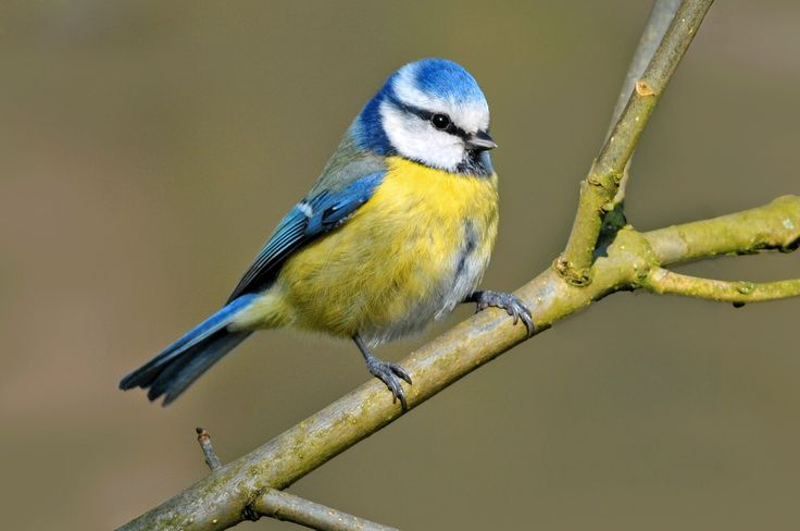 Chapim azul - Blue tit - Parus caeruleus