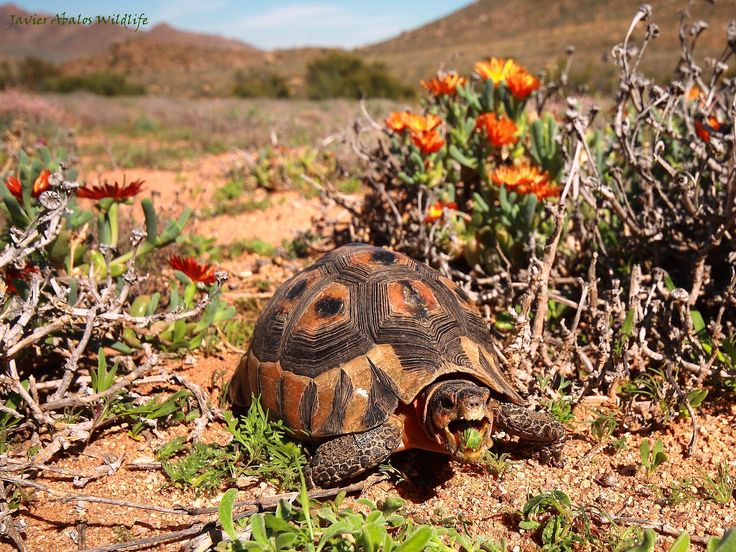 A lovely action photo of a tortoise eating, in the #Klein #Karoo you will often find tortoises crossing the road.