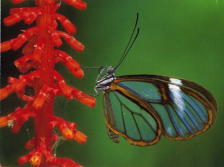 Incredible Photos of the Beautiful Glasswinged Butterfly - My Modern Metropolis