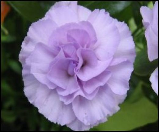 someone send me some purple carnations so i can grow them! lol All about Purple Carnations
