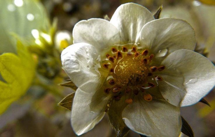 strawbery flower