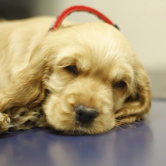 Awwww - cute little puppy with a sore leg. Fell asleep on the table