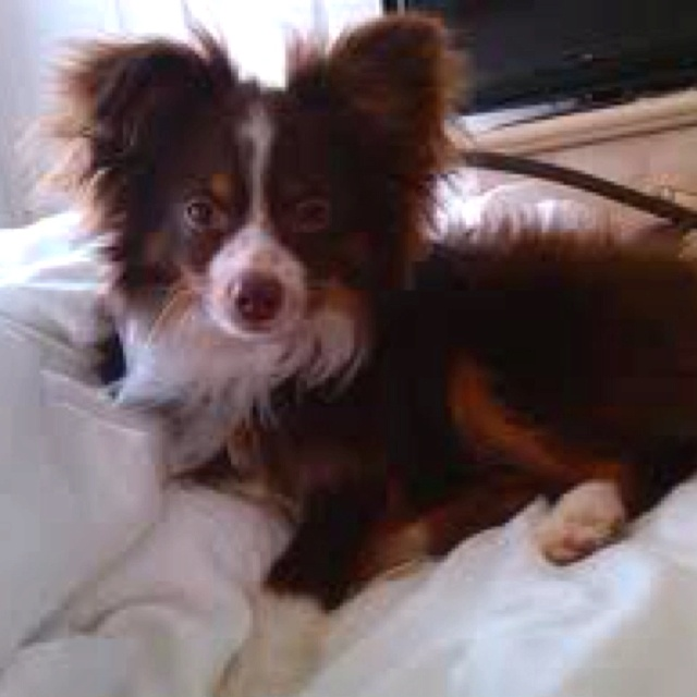 Toy Aussie with cute ears - not ours, but again, looks so much like our Lovie!